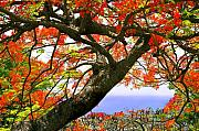 Flowering Tree Posters - Flamboyant Trees- St Lucia Poster by Chester Williams