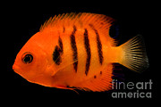 Reef Fish Posters - Flame Angelfish Poster by Danté Fenolio