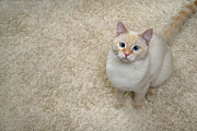Carpet Posters - Flame Point Siamese Cat Poster by Amy Strycula