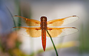 Dragonflies Art - Flame Skimmer Dragonfly by Susan Isakson