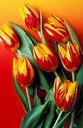 Dew Posters - Flame tulips Poster by Garry Gay
