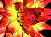 Red And Yellow Posters - Flaming Blossom Poster by Tony Grider