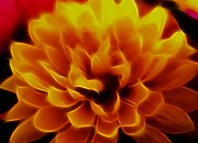 Denise Oldridge Framed Print Prints - Flaming Chrysanthemum Print by Denise Oldridge
