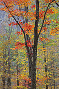 Colored Bark Posters - Flaming Fall Foliage Poster by John Stephens