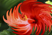 Photo Manipulation Acrylic Prints - Flaming Hibiscus Acrylic Print by Cheryl Young