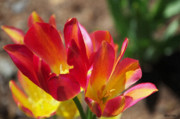 Tulip Bloom Prints - Flaming Tulips Print by Jeff Kolker