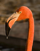 Beak Framed Prints - Flamingo Framed Print by Adam Romanowicz