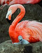 Chick Prints - Flamingo and Baby Print by Anthony Jones