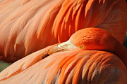 Eleu  Tabares - Flamingo At Rest