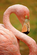 Everglades Metal Prints - Flamingo Metal Print by Carlos Caetano