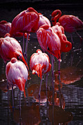 Zoo Metal Prints - Flamingo Metal Print by Elena Elisseeva