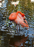Pink Flamingo - Flamingo Gardens by Carmen Del Valle