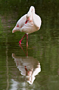 Reflected Framed Prints - Flamingo Framed Print by Gert Lavsen