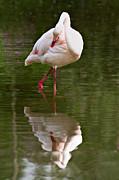 Flamingo Print by Gert Lavsen