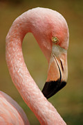 Aviary Posters - Flamingo Head Poster by Carlos Caetano