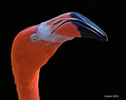 Greater Flamingo Prints - Flamingo Print by Larry Linton