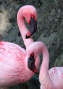 Grey And Pink Prints - Flamingo Love Birds Print by Carol Groenen