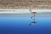 Pedro Framed Prints - Flamingo Framed Print by MaCnuel