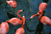 Shotwell Photography Metal Prints - Flamingo Party 1 Metal Print by Kathi Shotwell