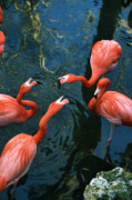 Shotwell Photography Metal Prints - Flamingo Party 2 Metal Print by Kathi Shotwell