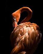 Florida Birds Prints - Flamingo Print by Patrick  Flynn