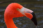 Flamingos Photos - Flamingo Portrait by Bruce J Robinson