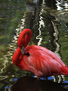 Flamingo Prints - Flamingo Preen Print by Vijay Sharon Govender