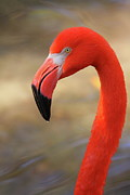 Flamingos Prints - Flamingo Profile Print by Bruce J Robinson