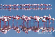 Pink Flamingo Framed Prints - Flamingo Reflection - Lake Nakuru Framed Print by Sandra Bronstein