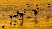 Flamingos Originals - Flamingo Silhouette by Basie Van Zyl