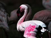 Wingsdomain Mixed Media - Flamingo by Wingsdomain Art and Photography