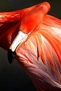 Flamingo Acrylic Prints - Flamingo With Attitude Acrylic Print by Joseph Reilly