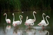 Provence Posters - Flamingoes And Their Reflections Poster by Anne Keiser