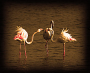 Rural Landscape Pyrography Prints - Flamingos Argue Print by Radoslav Nedelchev
