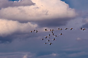 Flamingos Originals - Flamingos Flying by Dario Pozzati