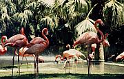 Florida Birds Prints - Flamingos Print by Harvie Brown