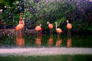 Zoo Animals Posters - Flamingos II Poster by Susanne Van Hulst
