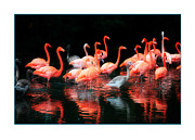 Flamingos Photos - Flamingos by Mal Bray