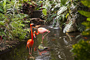 Koi In Water Prints - Flamingos Wades In Shallow Water Print by Taylor S. Kennedy