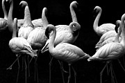 Black And White Photographs Photos - Flamingos by Wingsdomain Art and Photography