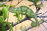 Flap Prints - Flap-necked Chameleon Print by Georgette Douwma