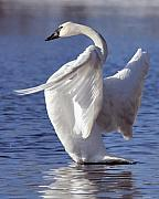 Trumpeter Photos - Flapping Swan by Larry Ricker