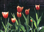 Plants From My Garden - Flared Red Yellow Tulips by Tom Wurl