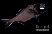 Flashlight Framed Prints - Flashlight Fish Framed Print by Danté Fenolio