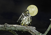 John Haldane Prints - Fledgling Eagle by Moon Light Print by John Haldane