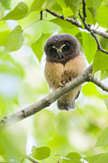 Baby Birds Posters - Fledgling Saw-whet Owl Poster by Tim Grams