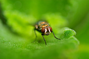Macro Photos - Flesh Fly by Arj Munoz