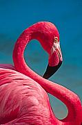 Flamingo Prints - Flexible Flamingo Print by Michele Burgess