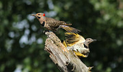 Wary Prints - Flickers Print by Mircea Costina Photography