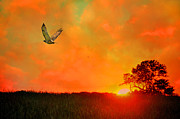 Red Tailed Hawk Posters - Flight at Sunset Poster by Emily Stauring